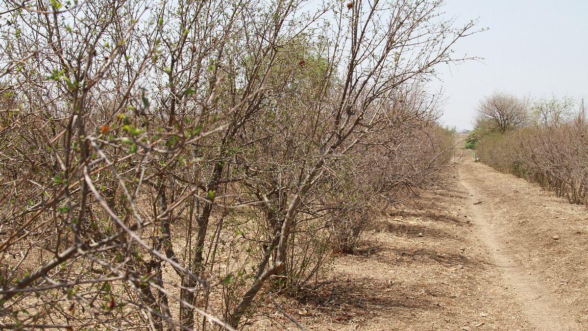 A dry pomegranate orchard. (Photo: Vivian Fernandes/ <b>The Quint</b>)