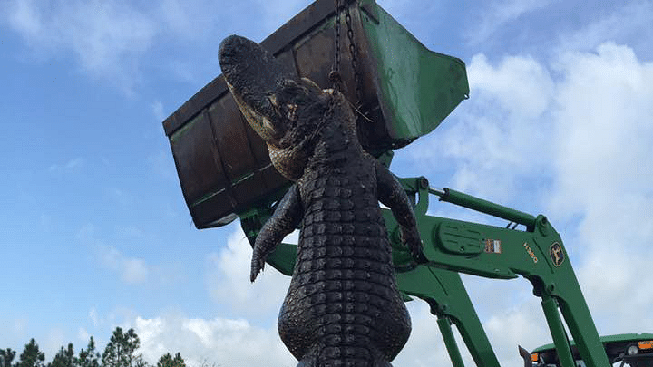 """15-foot alligator killed by Outwest Farms hunters in Florida. (Photo Courtesy: Facebook/<a href=""""https://www.facebook.com/OutwestFarmsInc/"""">Outwest Farms</a>)"""