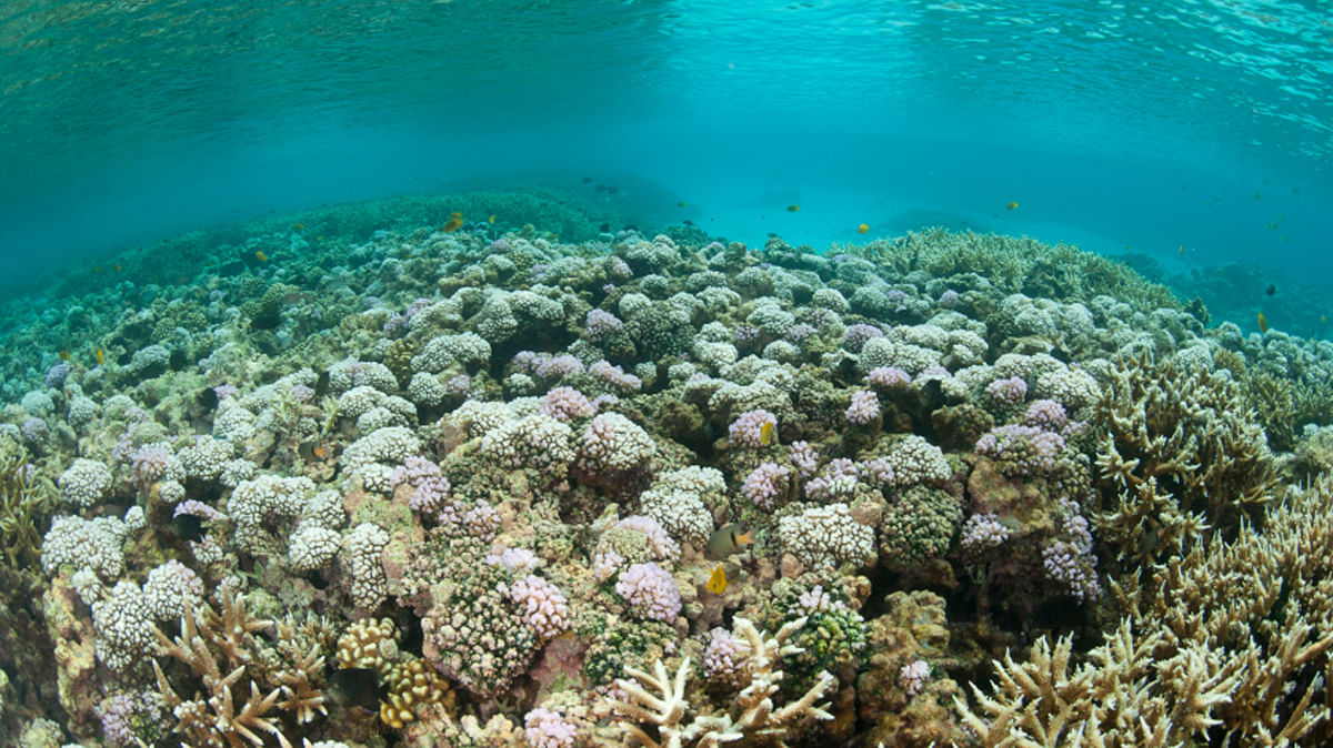 Coral bleaching in the Great Barrier Reef. (Photo courtesy: iStockphoto)