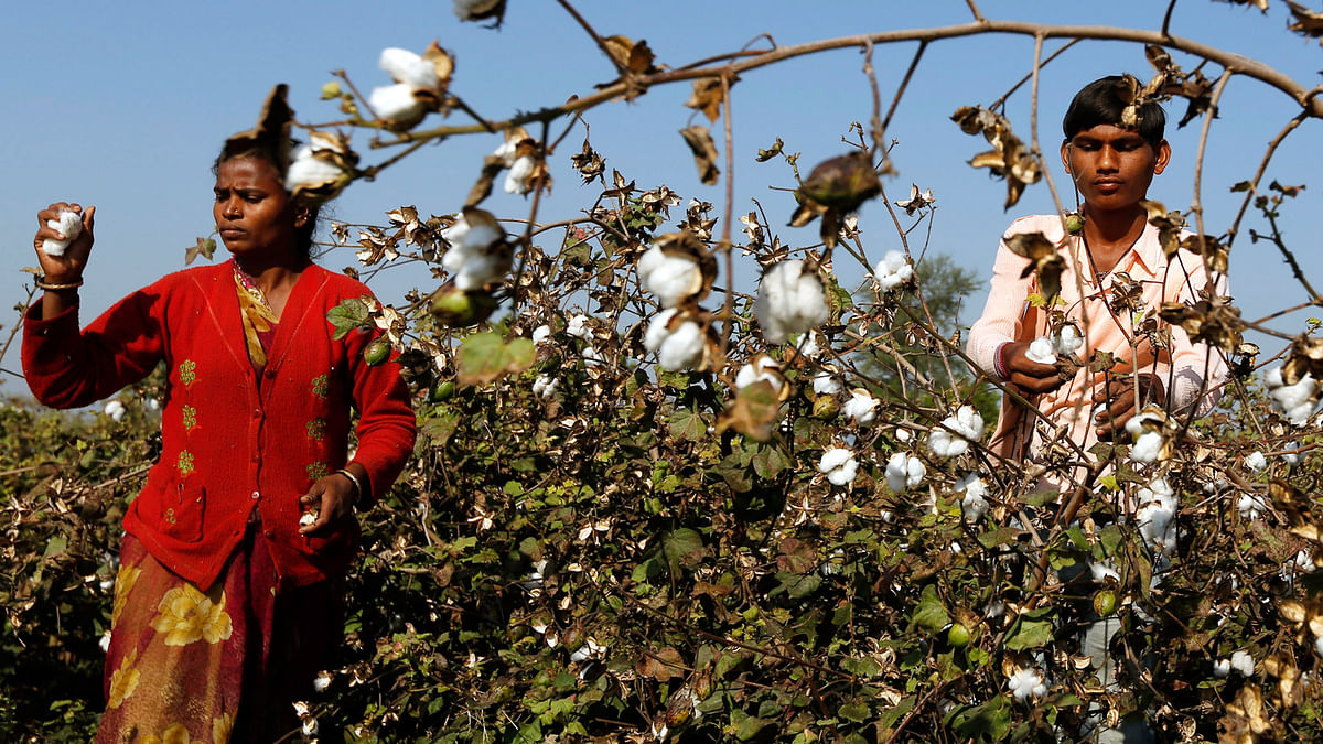 The <i>desi</i> cotton which the farmers produced was a short staple absorbent cotton used in surgical dressings. (File photo: Reuters)