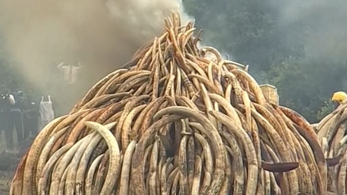 Illegal ivory was piled into some dozen giant pyres and set on fire using 20,000 litres (4,399 gallons) of fuel. (Photo: AP screengrab)