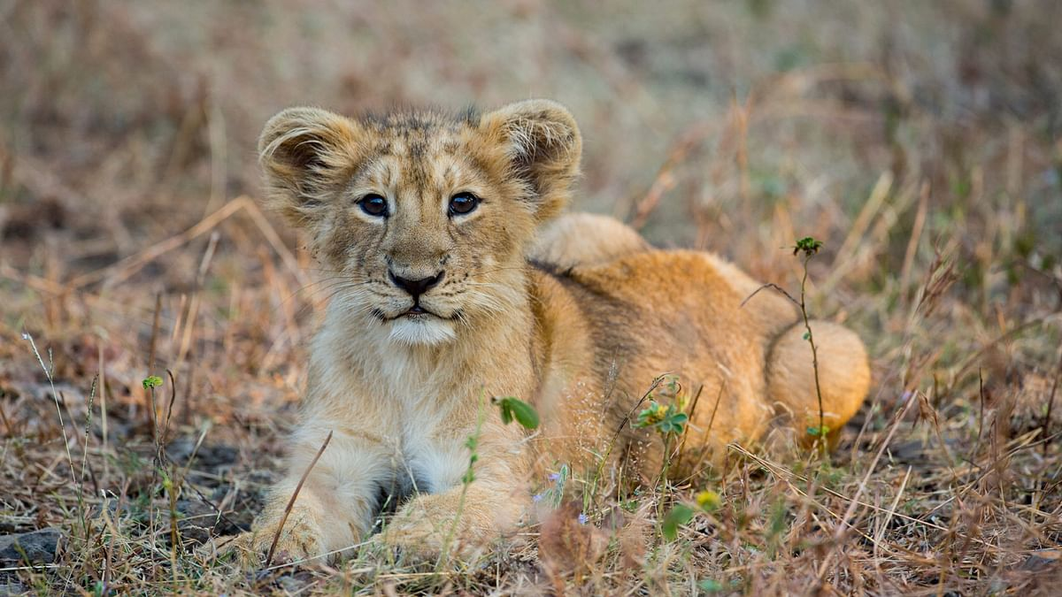 Around 30 percent of dead lions are cubs hardly a week to two years old.