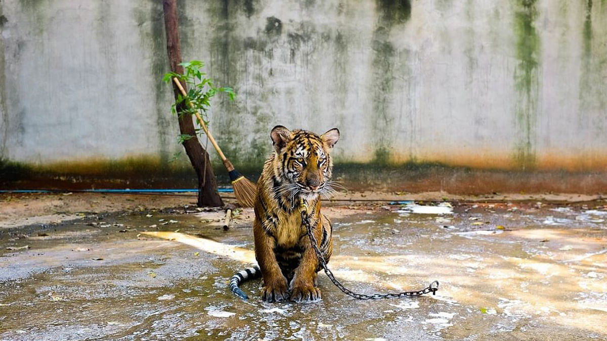 """137 tigers were relocated from the monastery. (Photo Courtesy: <a href=""""https://twitter.com/peta/status/739261966242320384"""">Twitter</a>)"""