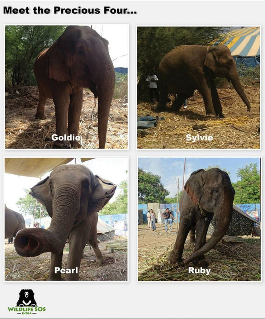 "Wildlife SOS claims there were ready and able to care for the Precious Four for life, and yet a legal decision pushed the elephants back into slavery. (Photo: <a href=""https://www.facebook.com/wildlifesosindia/photos/a.76535498525.80634.47398783525/10153730216333526/?type=3&amp;theater"">Facebook/Wildlife SOS) </a>"