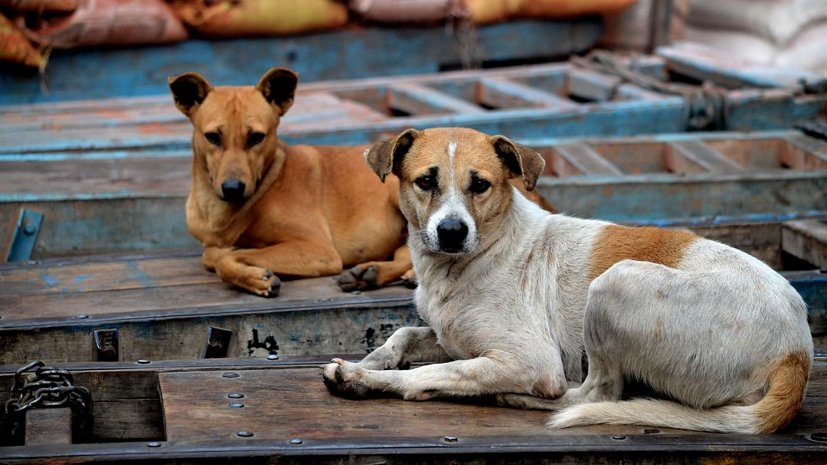 Representational image of stray dogs.