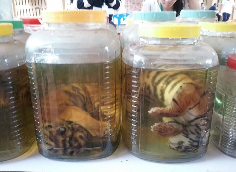 """Evidence recovered from the Tiger Temple. (Photo Courtesy: <a href=""""https://twitter.com/Protect_Wldlife/status/738780236775624704"""">Twitter</a>)"""