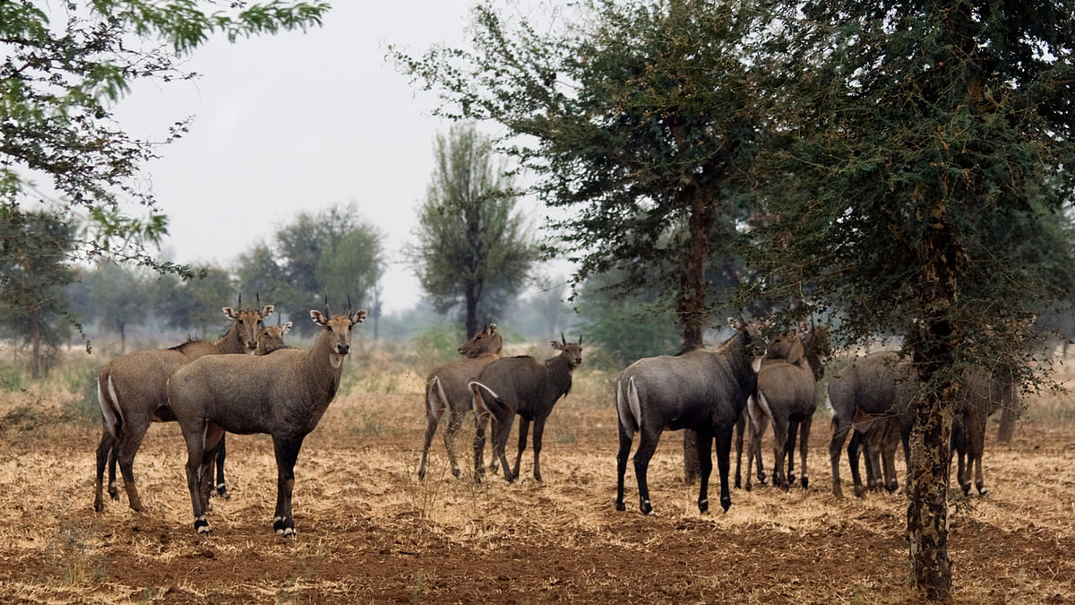 About 200 Nilgai or Blue Bulls were shot dead in Bihar. (Photo: iStockphoto)