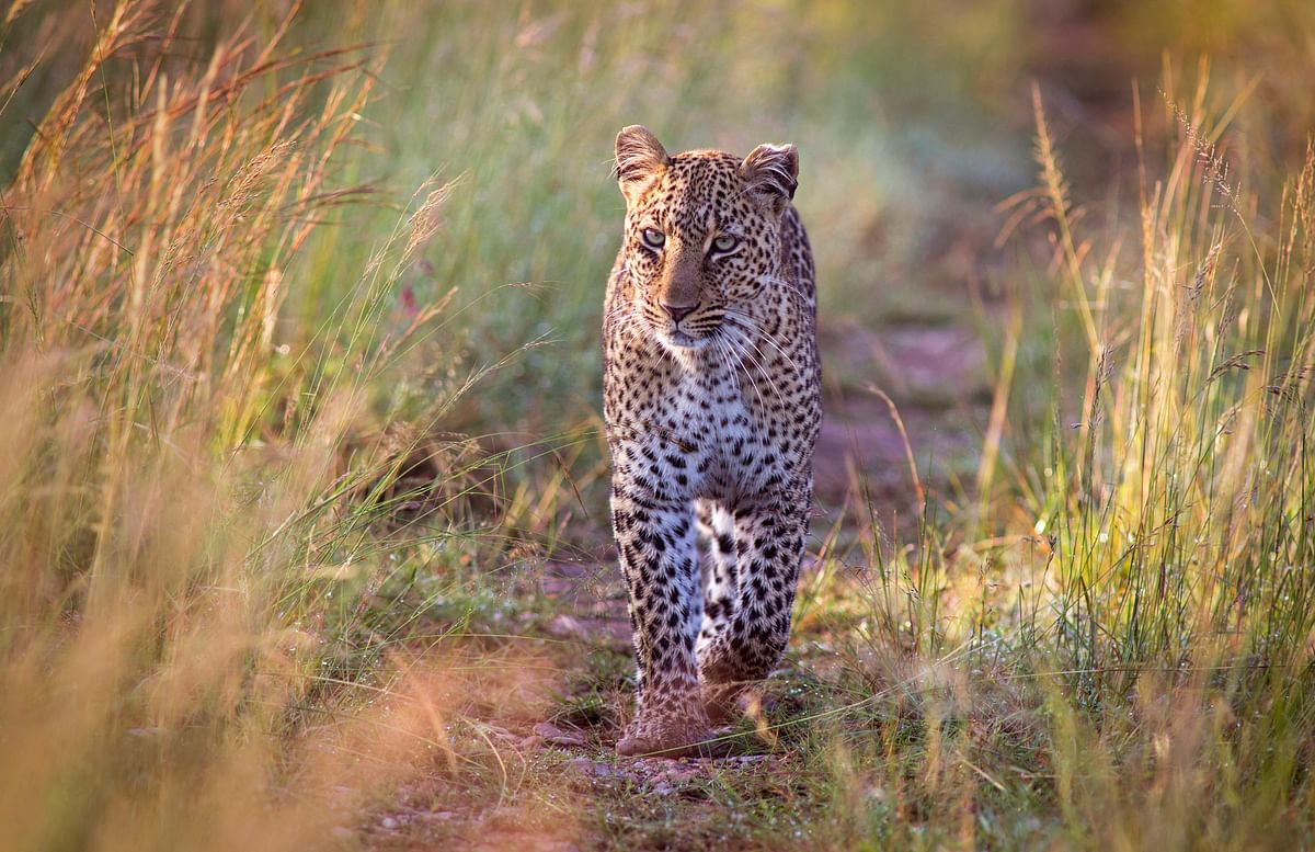 'Nawab' Shafat Ali Khan came under the lens of the Himachal Pradesh authorities and wildlife conservationists when he killed two leopard cubs. (Photo: iStockphoto)