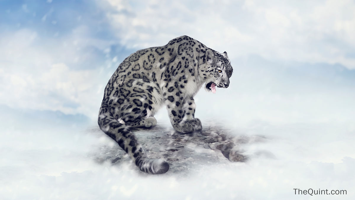 On The Brink Of Disappearing: The Plight of the Snow Leopard
