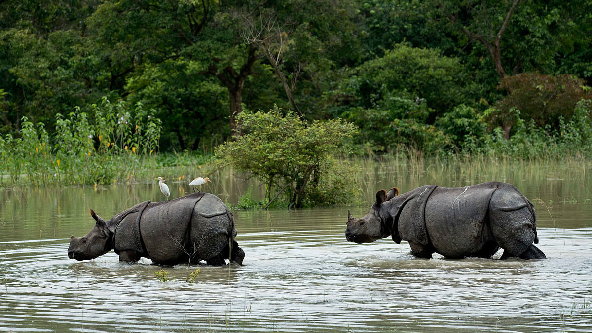 A pair of one-horned Rhinoceros wade through flood waters at the Pobitora Wildlife Sanctuary that was flooded following heavy monsoon rains at Pobitora, east of Gauhati, Assam. (Photo: AP)