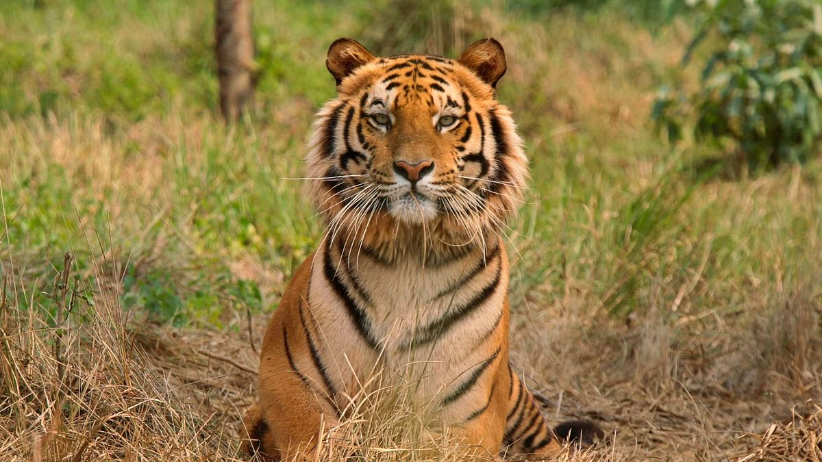 Raja, an 8-year Royal Bengal Tiger rescued at Jaldapara Wildlife Sanctuary in West Bengal. (Photo: Reuters Archives)