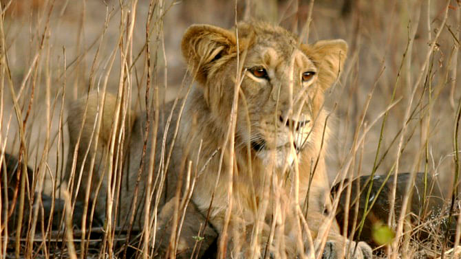 Are Asiatic Lions Paying the Price for Gujarati Asmita?