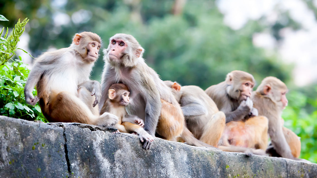 Himachal Pradesh is currently home to 207,614 monkeys. (Photo: iStockphoto)