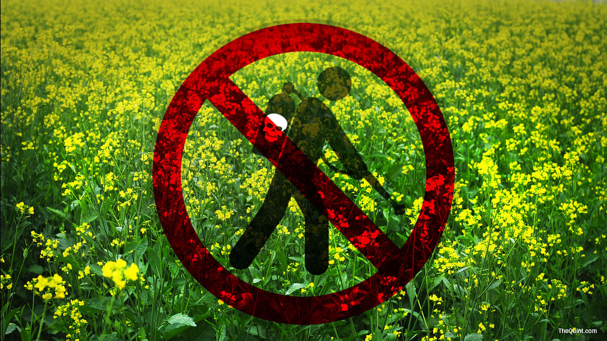 Is allowing commercial cultivation of GM mustard  akin to sounding death knell for small farmers? (Photo: Lijumol Joseph/ <b>The Quint</b>)