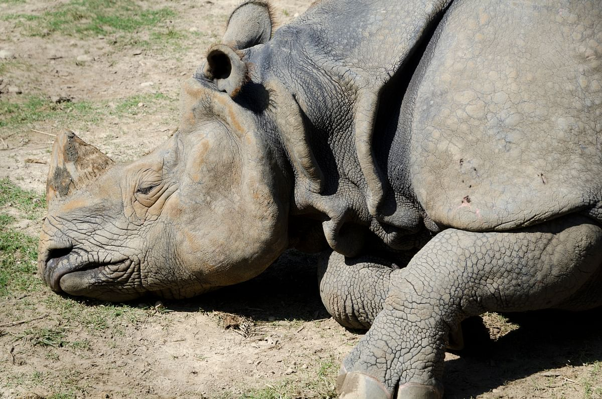 A dead one-horned rhino. (Photo: iStock)