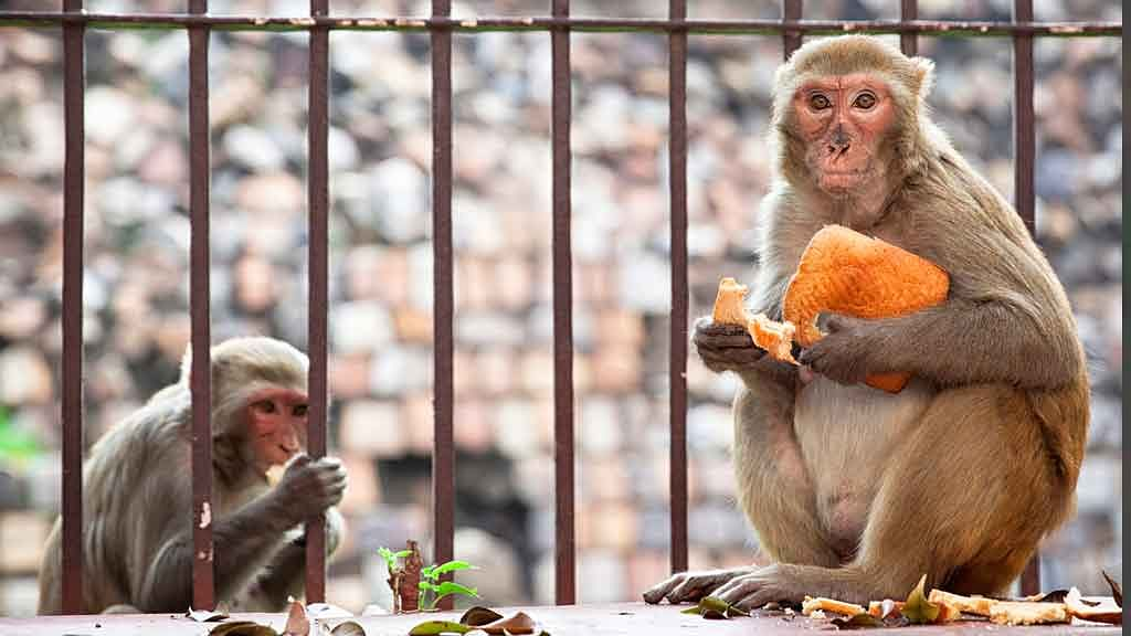 Monkeys run riot on IIT-Bombay campus. (Photo: iStockphoto)