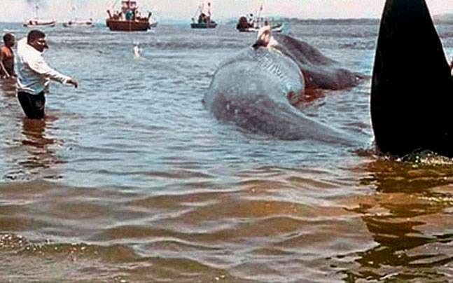 The whale is brought back to deeper waters. (Photo: PTI)