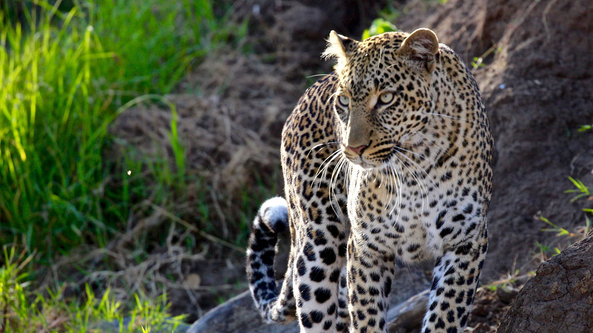 An elusive and magnificent big cat – the leopard. (Photo Courtesy: Sumanto Chattopadhyay)