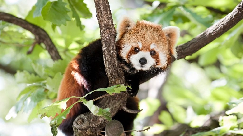 Conservation efforts to save the red panda could be working. (Photo: iStock)