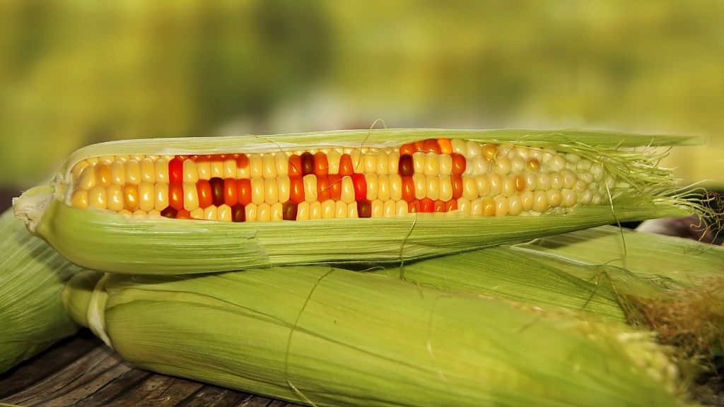 """Myths Around """"GMOs"""" Debunked, And No! They Don't Lead to Cancer"""