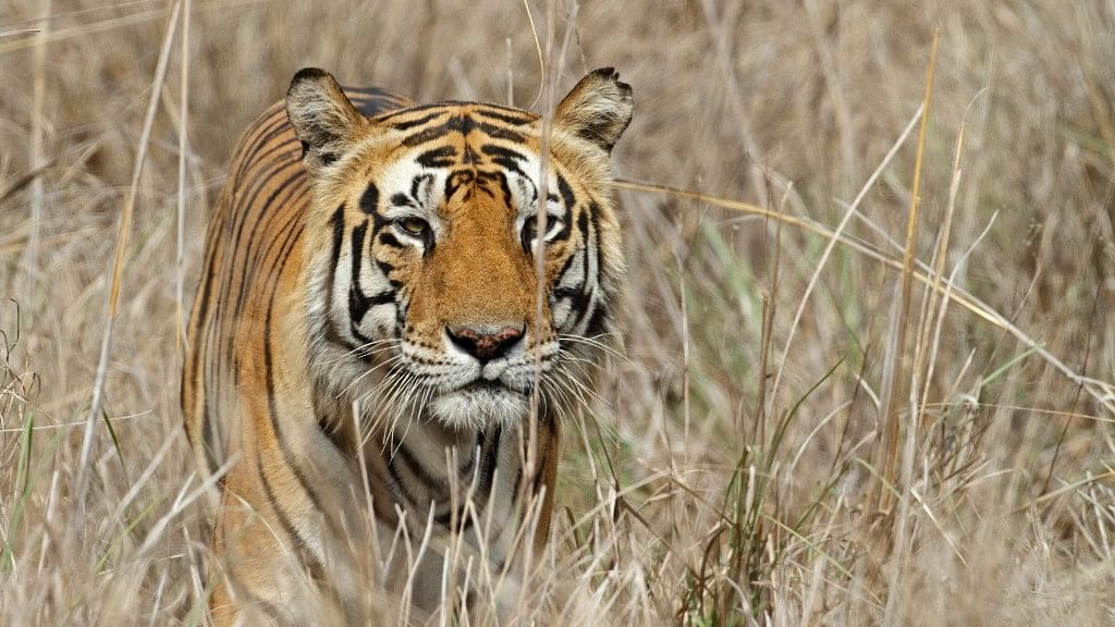 As per the Wildlife Protection Society of India's records, 100 tigers have died in India in 2016. Representational Image. (Photo: iStock)