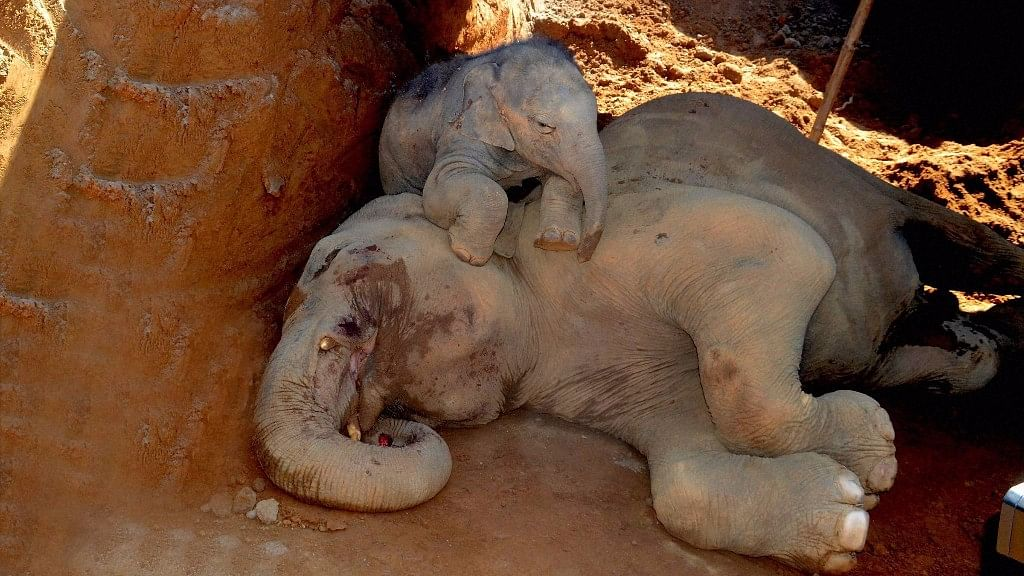 An injured elephant and its calf after they accidentally fell into a pit dug for construction of Patanjali Foods and Herbal Park at Balipara in Sonitpur district on Thursday. (Photo: PTI)