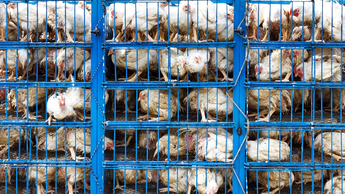 Representational image of poultry in a dairy farm. (Photo: iStock)
