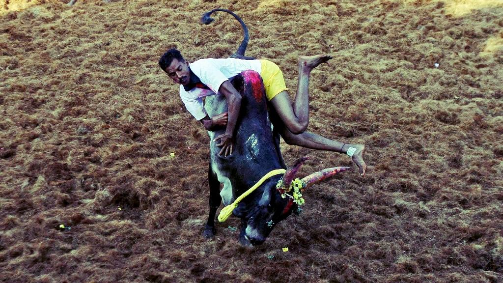 A villager tries to control a bull during Jallikattu on the outskirts of Madurai town. (Photo: Reuters)