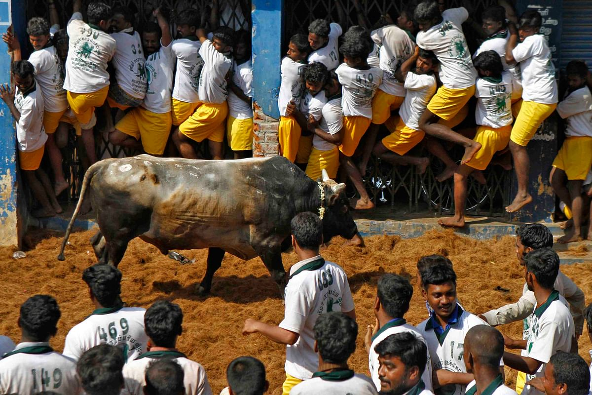 Villagers try to protect themselves from a bull during Jallikattu on the outskirts of Madurai town. (Photo: Reuters)