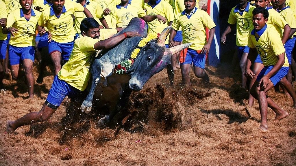 Agitations continued in various parts of the state, including Alanganallur, the usual hub of the Jallikattu event, with students and many others joining the stir. (Photo: AP)