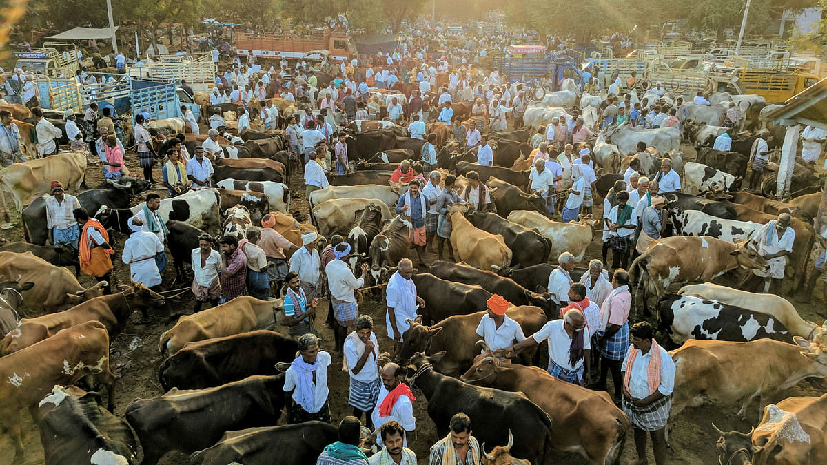 Jallikattu Ban (2014-17): What It Meant for the Farmer & Bull