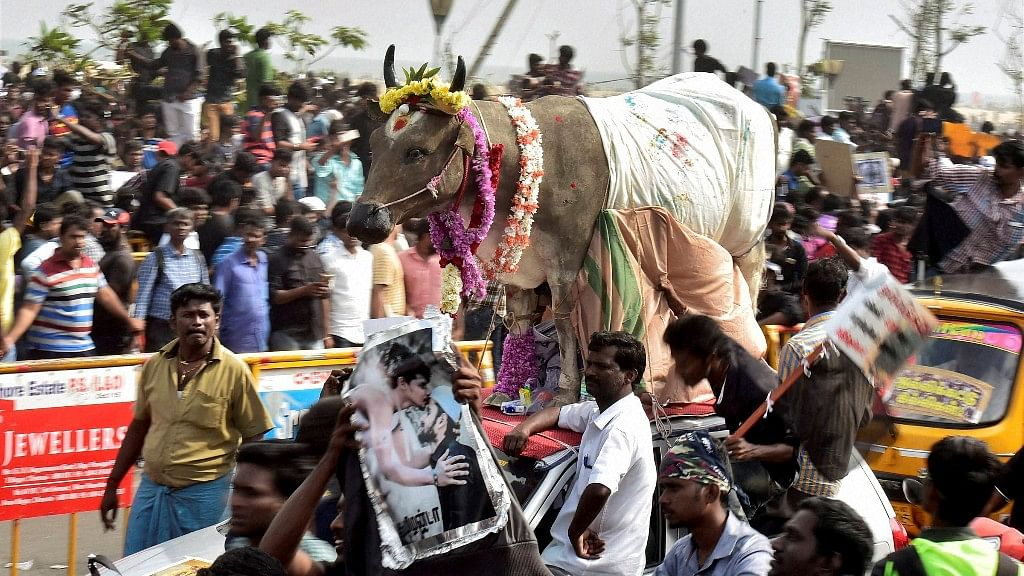 Youngsters and students participate in a protest to lift the ban on Jallikattu and impose ban on PETA, at Kamarajar Salai, Marina Beach in Chennai on Friday. (Photo: PTI)