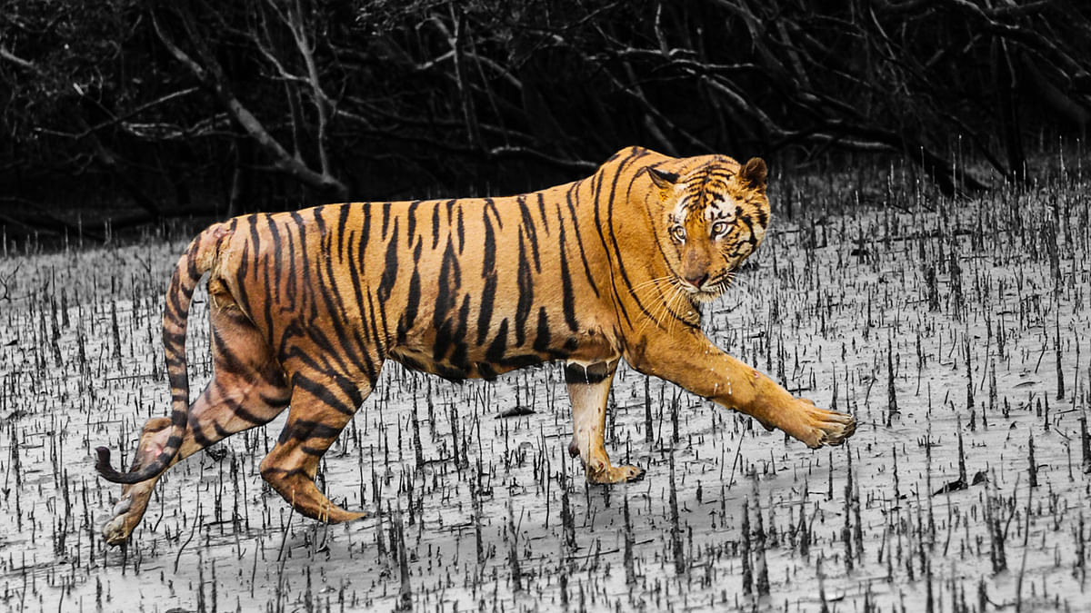 A tiger in the marshy terrain of the Sunderbans (Photo: NC Bahuguna/Image altered by <b>The Quint</b>)