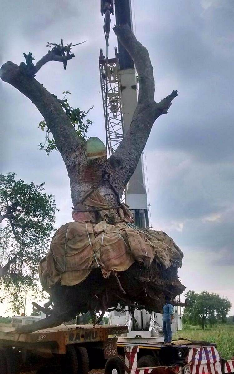 """(Photo Courtesy: <a href=""""http://www.thenewsminute.com/article/dont-cut-trees-just-move-them-instead-hyderabad-man-shows-you-how-57746"""">TheNewsMinute</a>)"""