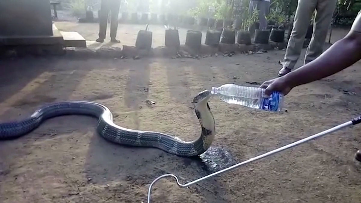 Parched Snake Sips Water Straight Out of A Plastic Bottle