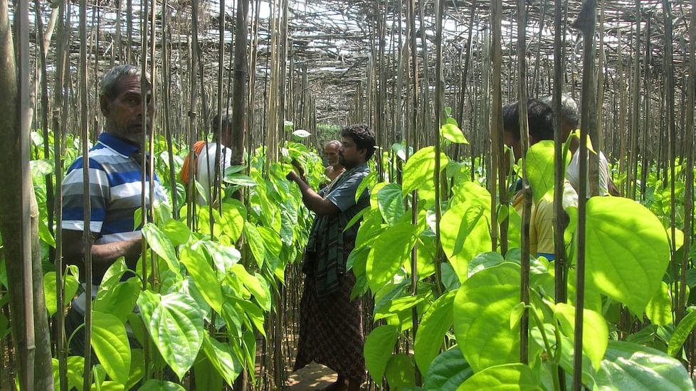 A betel leaf vineyard in Jagatsinghpur district of Odisha (Photo: The Village Square)
