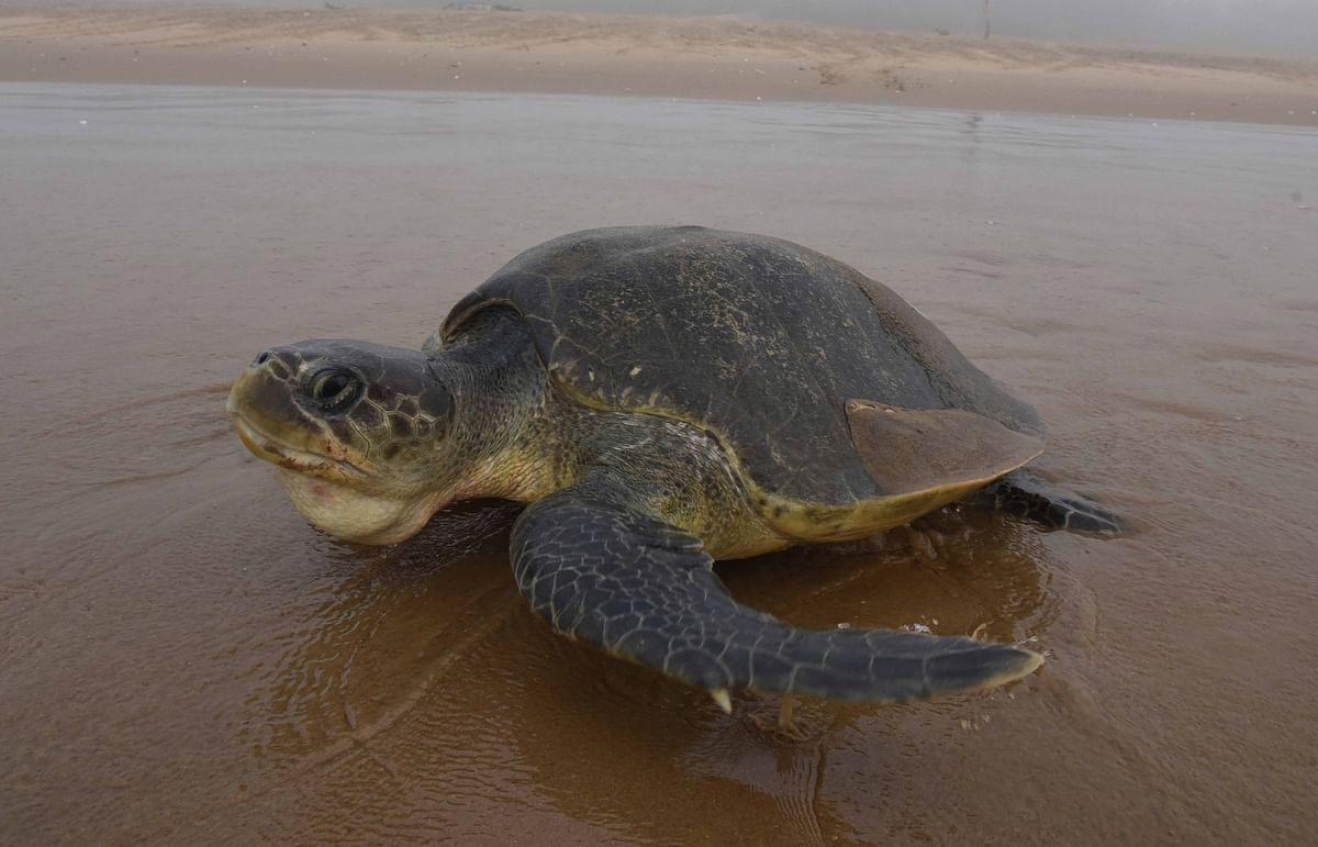 An Olive Ridley turtle at a beach in Ganjam district of Odisha. (Photo: IANS)