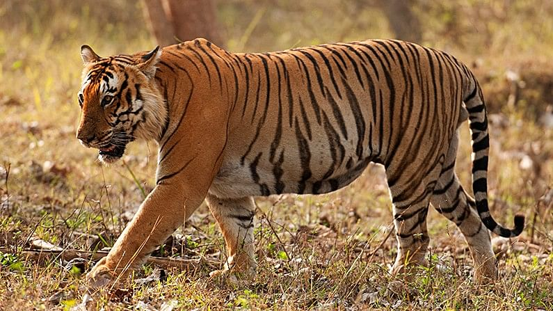 """The 13-year-old male was missing for the past few weeks. (Photo Courtesy: <a href=""""http://walkthewilderness.net/bengal-tiger-prince-of-bandipur/"""">WalktheWilderness</a>)"""
