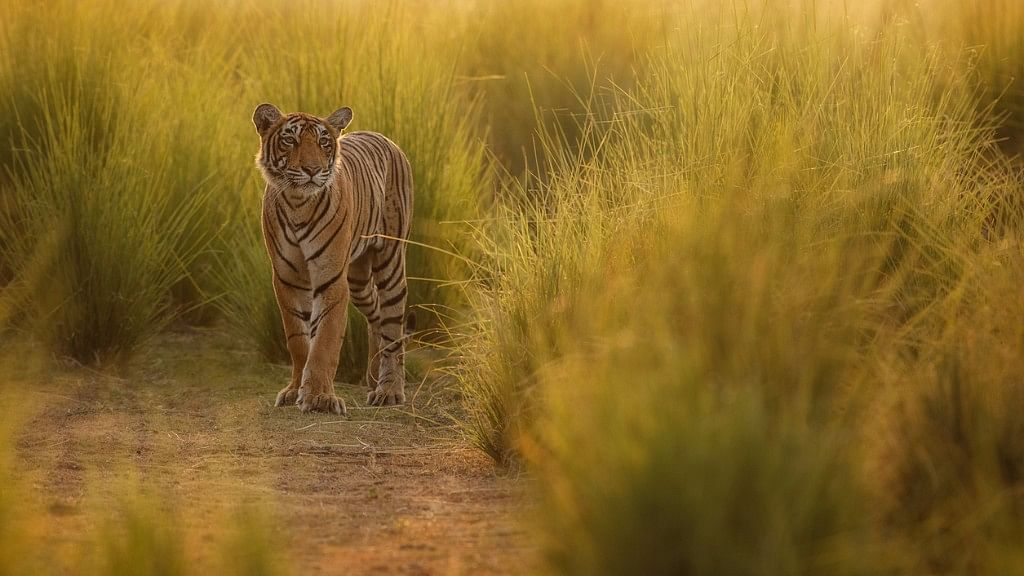 Is the new way devised by scientists for estimating the number of tigers foolproof? (Photo: iStock)