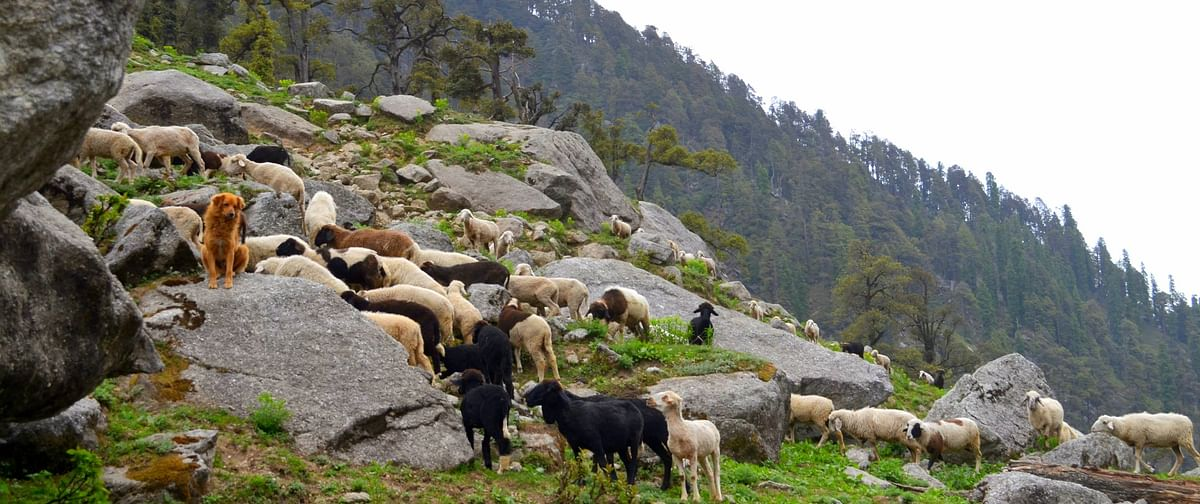 Sheep and dogs seen on a hill top in Kareri lake area.