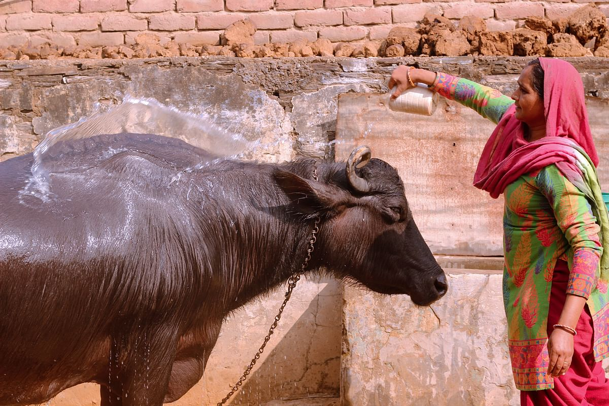 "The buffalo is one of the main sources of income for Kavita who takes care of him ""like a baby"". (Photo: Kashish Badar)"