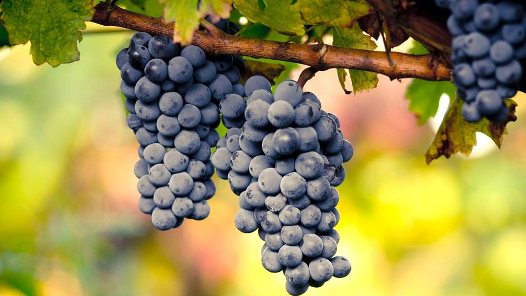 Grapes are said to have innumerable health benefits. (Photo: iStock)