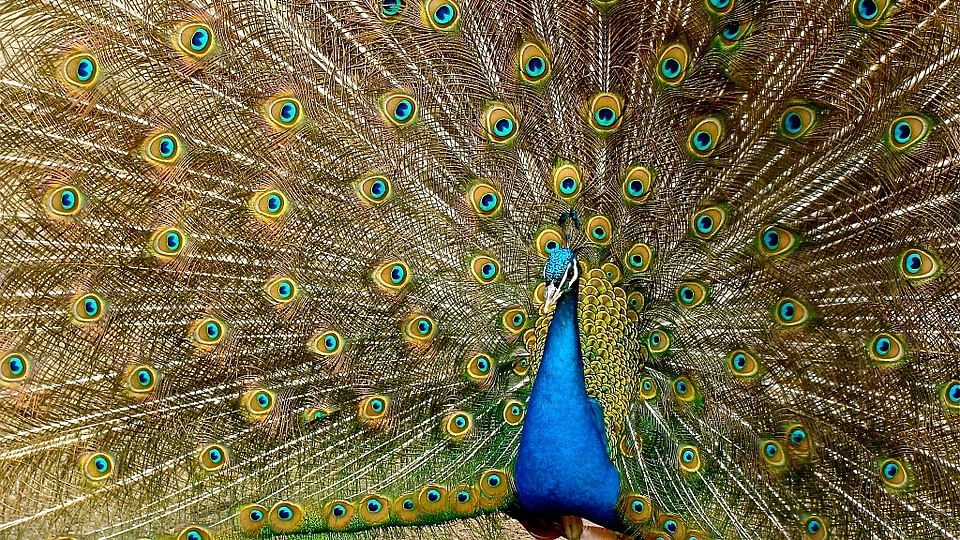 Yes Peacocks Have Sex – Sorry to Break It to You, Justice Sharma