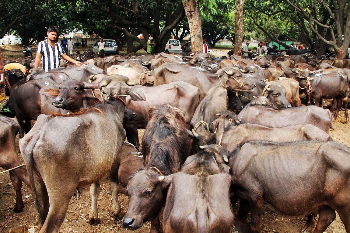 Over 90% of the buffalo market depends on middlemen. (Photo: Neeraj Gupta/<b>The Quint</b>)