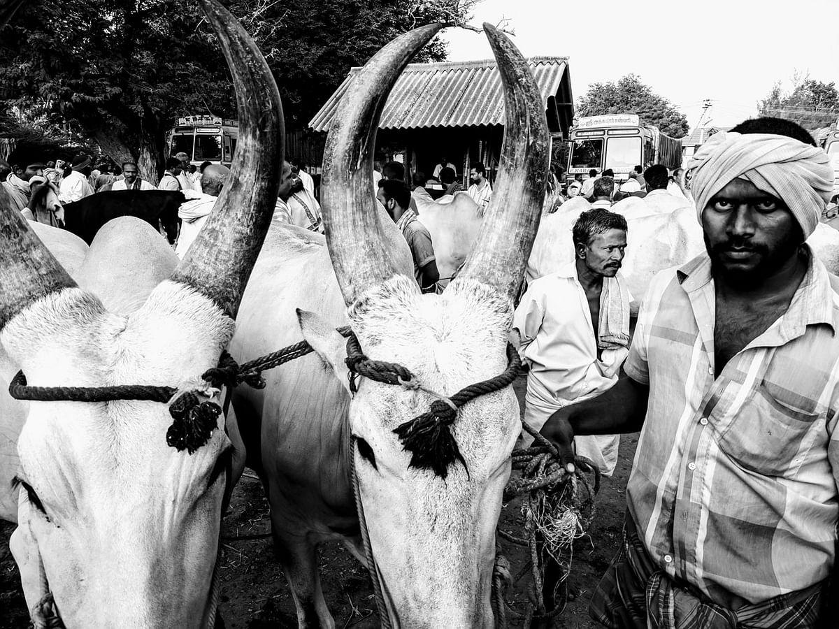 A pair of 'Konadan' bullocks, held by the farmer. (Photo: Vikram Venkateswaran/<b>The Quint</b>)