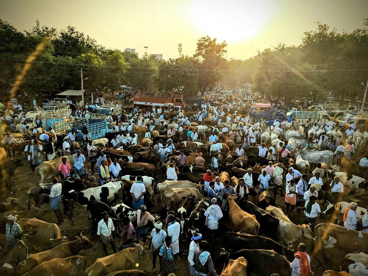 The 112-year-old Vadipatti cattle market, near Madurai. (Photo: Vikram Venkateswaran/<b>The Quint</b>)