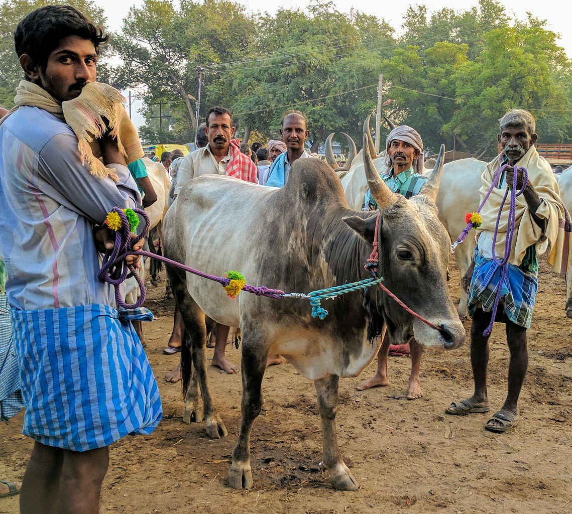 A Jallikattu 'temple' bull. Prize bulls fetch over Rs 50,000. But with the Jallikattu ban, it will be sold for Rs 15,000 or less, for slaughter.  (Photo: Vikram Venkateswaran)