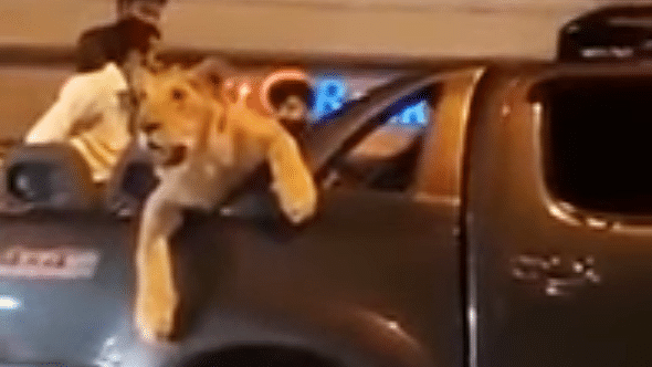 """The brief clip shows a docile lion lounging in the back of a pick-up truck. (Photo Courtesy: YouTube <a href=""""https://www.youtube.com/watch?v=Oxc1flyAiIs"""">screenshot</a>)"""