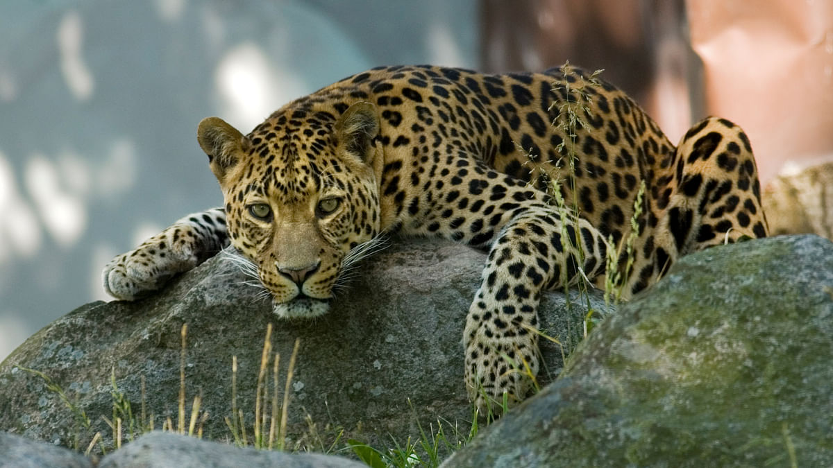 QAhmedabad: Leopard Attacks 65-Year-Old; Cop Slits 3 Sons' Throats