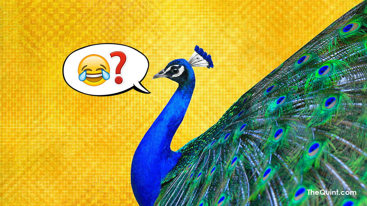Peacocks are celibate? What's there to celebrate? (Photo: Aaqib Raza Khan/<b>The Quint</b>)